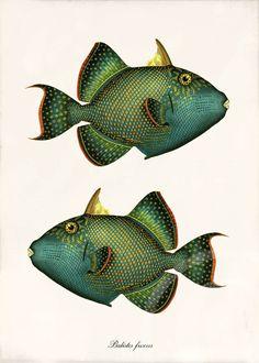 Antique Fish Art Collage Print - 5 x 7 - Natural History - Balistes fuscus. $10.00, via Etsy.