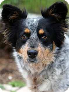 Berkeley, CA - Australian Cattle Dog Mix. Meet Jenga, a dog for adoption. http://www.adoptapet.com/pet/13059149-berkeley-california-australian-cattle-dog-mix