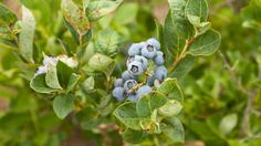 GREAT blueberry growing guide for containers including soil type, container size, etc.