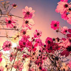 Wunderschöne zarte Blumen - Cosmea, auch Schmuckkörbchen genannt ☺