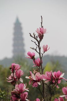 Cherry Blossom, Chine Traditionnelle, Nanning