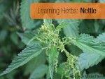 Learning Herbs: Nettle