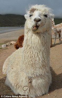Pucker up! Hilarious photos show llamas posing for selfies Alpacas, Selfies, Selfie Poses, Funny Llama Pictures, Hilarious Photos, Cute Baby Animals, Funny Animals, Llama Arts, Baby Llama
