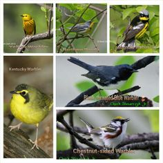 Some of the warblers that will be migrating through OH next month. Last year I saw the chestnut sided warbler at Magee Marsh.