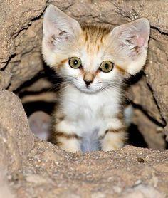 Sand cat.
