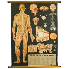 Human Body (Parts)