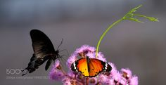 a tiger & a swallow by philippe6