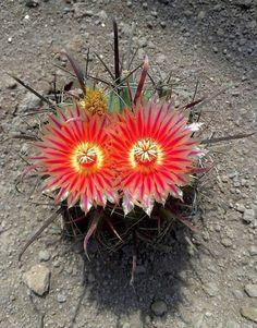 Ferocactus peninsulae ...en todo hay belleza.  Ferocactus peninsulae es una especie de la familia de las cactáceas. Es originaria de México.  Se trata de…  -  rosanna ramos: Google+