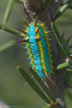 The unlikely colour-scheme of an unknown Cup-moth larva. Snake Hill above Lake Ballard, Western Australia.