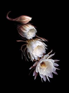 Queen of the Night, Blooming Cereus La dama de noche, solo1 noche!!!