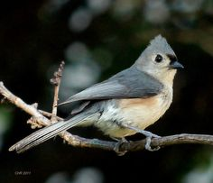 tufted titmouse, my favorite backyard visitor!
