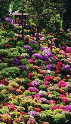 Azalea bushes at Tokyo, Japan