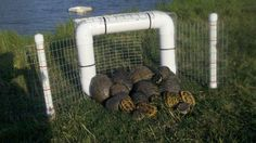 Floating Turtle Trap No Bait Required Great for Snapping Turtles Humane   eBay