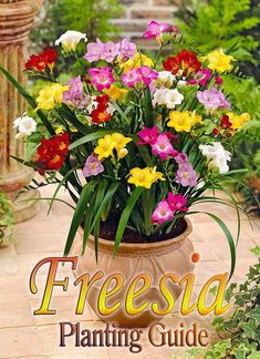 """Freesia flowers are """"zygomorphic"""" which just means that they grow along one side of the stem, in a single plane. Container Plants, Container Gardening, Gardening Tips, Sustainable Gardening, Flower Gardening, Freesia Flowers, Top Flowers, Potted Flowers, Potted Plants"""