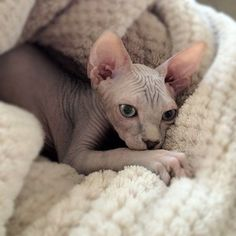 The Sphynx is another pet-friendly cat.
