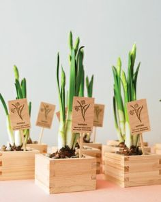Daffodil Wedding Favors - but maybe just the bulbs in a box with pretty ribbon?
