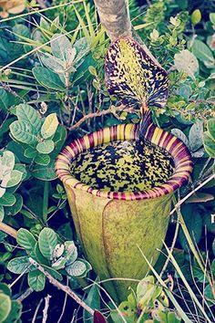 Sólo otra planta carnívora GIGANTE, muy común en estos días...