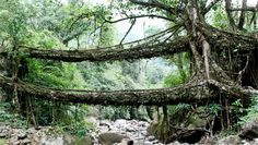 living root bridges of India made from the  Ficus elastica tree.