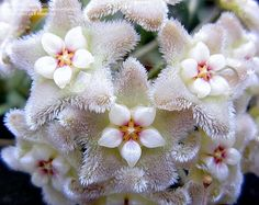 Bloom of the Day for September 14, 2012: Hoya serpens. Photo by atisch.