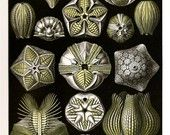 Ernst Haeckel 2010 SHELLS CHAMELEON Colored Art Print 79 80 Basiliscus Lizards in Beautiful Colors and Black and White Golden Yellow