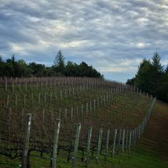 Clouds bringing the false promise of rain at Lagier Meredith Vineyard on Mt. Veeder, Napa.