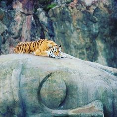 Tigers declared extinct in Cambodia. Deforestation and hunting have devastated tiger numbers across Asia. #tiger #cambodia #awarness #protection #nature #conviction #environment #forest #deforestation #sustainability #sustainablefashion #sustainable #hempfibre #hempplant #hemp #hempeyewear #saveourplanet