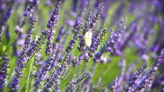 Not all lavender is, well, lavender in color. Varieties of this fragrant herb come in shades of purple and blue ranging from light to dark, as well as white, red, pink, and even yellow-green. Group several plants of one color together for a strong visual impact.'Richard Gray' is a hybrid lavender with blue-violet flowers and silvery, woolly foliage, while'Nana Alba' is a dwarf English cultivar with very fragrant white flowers. It grows compactly and will bloom again.