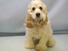 SAFE - 03/10/16 - BELLA DELREY - #A1066743 - Urgent Manhattan - SPAYED FEMALE WHITE COCKER SPANIEL, 5 Yrs - OWNER SUR - EVALUATE, NO HOLD Reason PERS PROB - Intake 03/05/16 Due Out 03/05/16 - CAME IN WITH MARGY #A1066745 (NOT AN URGENT DOG)