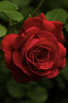 by Jürgen Gatte - Rose Beautiful Flowers Wallpapers, Beautiful Rose Flowers, Pretty Roses, Amazing Flowers, Red Flowers, Hearts And Roses, David Austin Roses, Rose Bush, Flower Images