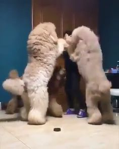 """Acquire fantastic pointers on """"poodle puppies"""". They are on call for you on our site. Cute Funny Animals, Cute Baby Animals, Funny Dogs, Animals And Pets, Cute Puppies, Cute Dogs, Poodle Puppies, Animal Quotes, Pet Quotes"""
