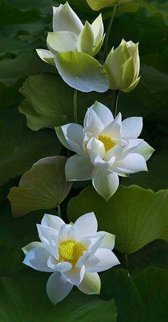 361 best lotus s love images on pinterest in 2018 lotus lotus coffeenuts lotus by duongquocdinh mightylinksfo