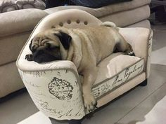 I want this chair for my next pug.