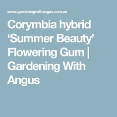 Corymbia hybrid 'Summer Beauty' Flowering Gum | Gardening With Angus