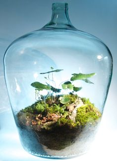 Items similar to Vintage Demijohn Terrarium on Etsy il Air Plants, Garden Plants, Indoor Plants, Terrarium Plants, Succulent Terrarium, Bottle Garden, Water Garden, Plant In Glass, Cactus Y Suculentas