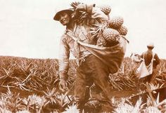 Worker on pineapple plantation in Hawaii, circa 1920s.