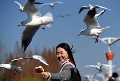 A tourist feeds black-headed gulls on the Dianchi Lake