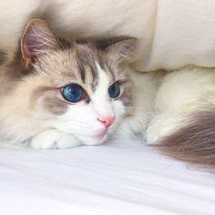 Nugget is a gorgeous blue eyed Blue Bicolor Lynx Ragdoll Cat.