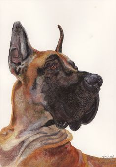 Great Dane   Painted with Watercolors from photo by Robert Clark    National Geographic February 2012    www.jenvento.com