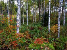 Syksyinen koivikko - koivikko metsämaisema metsä syksyllä syksyinen syksy syysmaisema ruskamaisema ruskainen ruska värikäs pihlajat pihlaja talousmetsä harvennettu koivumetsä metsäluonto Betula pendula hieskoivu hieskoivut tuohi valkoiset valkoinen sekametsä kuusi alkusyksy aluskasvillisuus saniaiset lehto koivulehto