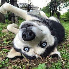 I still see you! #siberianhusky #siberianhuskyinformation
