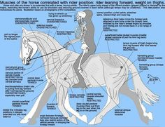 Muscles of the horse correlated with rider positions.