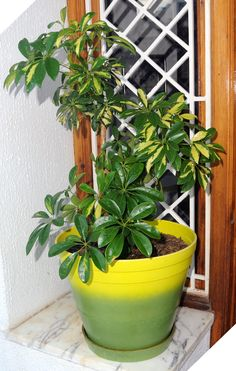 The schefflera houseplant is a popular plant and comes in many varieties. One of the reasons it is so popular is because care is so easy. This article provides information on caring for these plants.