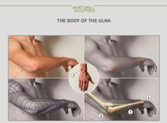 "drawingden: ""Arm Anatomy by Anatomy For Sculptors """