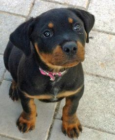via the daily puppy  Puppy Breed: Rottweiler  Storm is a very loving dog who enjoys spending her time curled up at your feet rather than playing with her friends. Her version of fetch is to attack who ever has the ball. She will try her best to get out of doing any exercise; this includes sitting with other families and acting like she doesn't know you.
