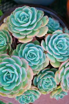 Echeveria imbricata (by flora-file) full sun Succulent Gardening, Cacti And Succulents, Planting Succulents, Cactus Flower, Flower Pots, Echeveria Imbricata, Succulent Images, Plantas Bonsai, Plants Are Friends