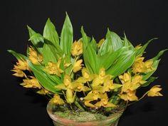 Lycaste aromatica. Sinônimos: * Maxillaria aromatica, Colax aromaticus.