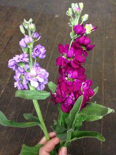 Lavender and fuchsia stock