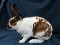 Torted Tri-Colour Mini Rex Rabbit for sale at Pets FREE Classifieds