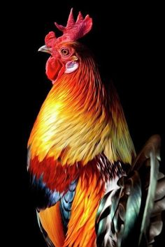 Shop for rooster art from the world's greatest living artists. All rooster artwork ships within 48 hours and includes a money-back guarantee. Choose your favorite rooster designs and purchase them as wall art, home decor, phone cases, tote bags, and more! Fancy Chickens, Chickens And Roosters, Chickens Backyard, Beautiful Chickens, Beautiful Birds, Animals Beautiful, Hen Chicken, Chicken Art, Wild Chicken