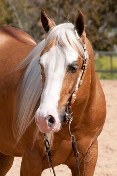 Cutting western quarter paint horse appaloosa equine tack cowboy cowgirl rodeo ranch show ponypleasure barrel racing pole bending saddle bronc gymkhana Horses And Dogs, Cute Horses, Horse Love, Wild Horses, Most Beautiful Horses, All The Pretty Horses, Animals Beautiful, Palomino, Appaloosa